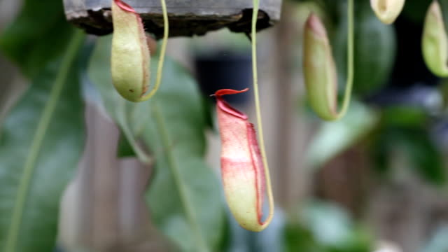 pitcher plant - carnivorous plant stock videos and b-roll footage