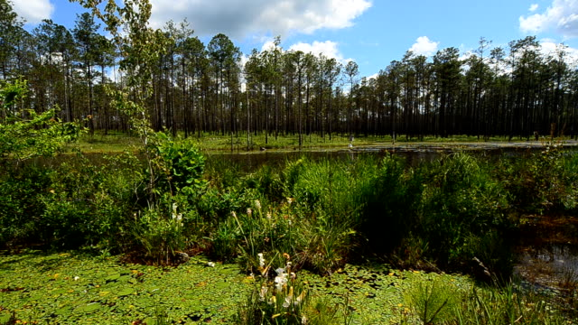 pitcher plants growing next to beaver dam - beaver dam stock videos and b-roll footage