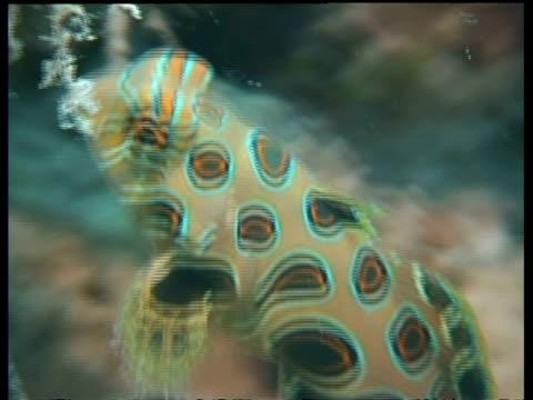 vídeos y material grabado en eventos de stock de cu pitcuresque dragonet  feeding on coral, mabul, borneo, malaysia - patrones de colores