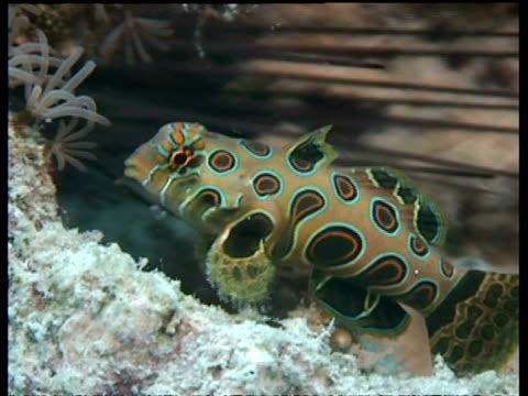 cu pitcuresque dragonet  feeding on coral, mabul, borneo, malaysia - 動物の色点の映像素材/bロール