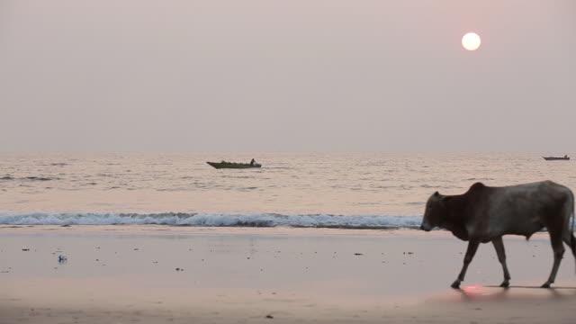 plage avec vache de goa en inde - inde stock videos & royalty-free footage