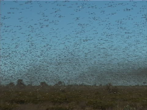 pest locusts - epidemic stock-videos und b-roll-filmmaterial