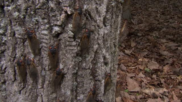 a plague of cicadas crawls up a tree trunk. - pest stock videos & royalty-free footage