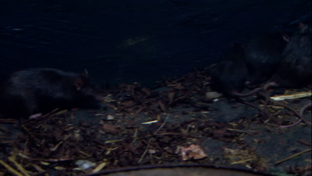 stockvideo's en b-roll-footage met plague rats wander around a straw-littered crate. - rat