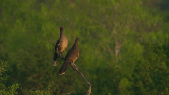 plain chachalacas perching on branch at dusk - perching stock videos & royalty-free footage