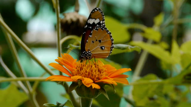 plain tiger butterfly on flower - sucking stock videos & royalty-free footage