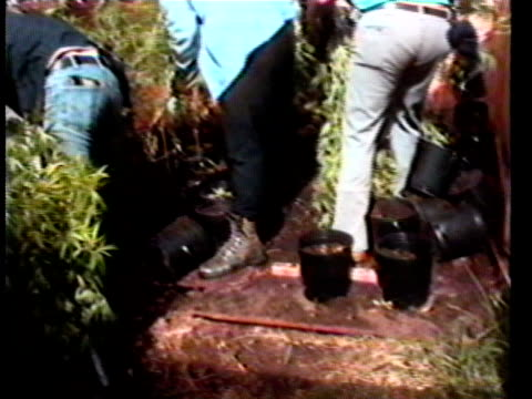 Plainclothes police officers in drugs bust removing marijuana plants from numerous pots/ Hawaii Islands USA/ AUDIO