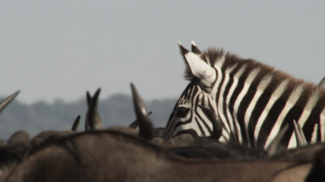 Plains zebra (Equus quagga) among wildebeest herd, Kenya
