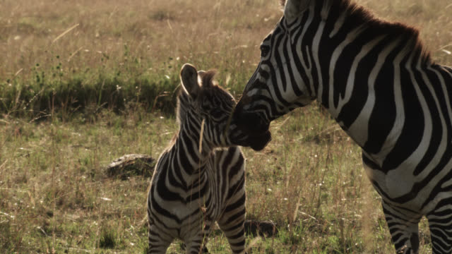 Plains zebra (Equus quagga) and foal on savannah, Kenya