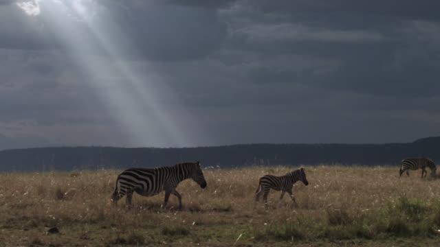 plains zebra (equus quagga) and foal walk on savannah, kenya - 子馬点の映像素材/bロール