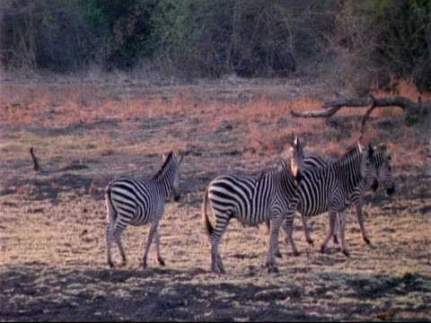 vídeos y material grabado en eventos de stock de ms plains zebra, boehm's race, 4 walking, 3 stop alert, looking to camera, mana pools, zimbabwe - patrones de colores
