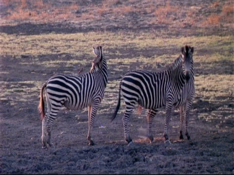 vídeos y material grabado en eventos de stock de ms 3 plains zebra, boehm's race, standing, looking around, swishing tails, mana pools, zimbabwe - patrones de colores