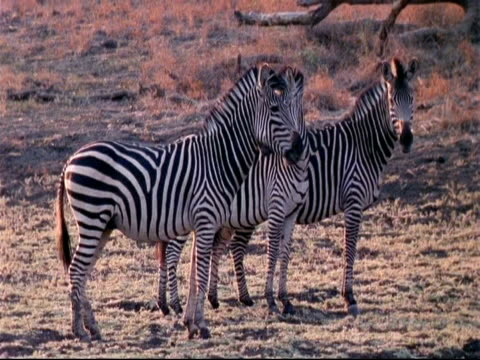 vídeos y material grabado en eventos de stock de mcu 3 plains zebra, boehm's race standing watching, one by one walking off, one continues looking to camera, mana pools, zimbabwe - patrones de colores