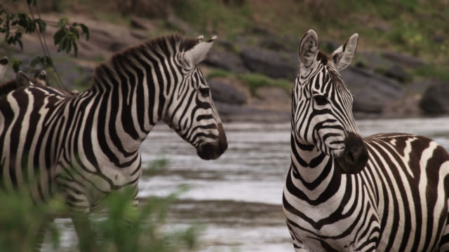 Plains zebra (Equus quagga) by river crossing, Kenya