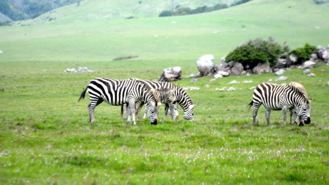 vidéos et rushes de equus quagga zèbre des plaines - petit groupe d'animaux