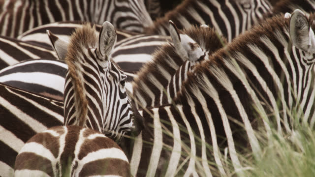 Plains zebra (Equus quagga) herd on savannah, Kenya