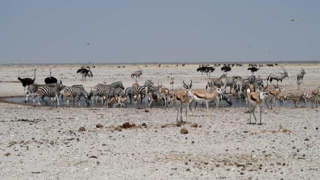 vídeos de stock, filmes e b-roll de oryx, springbok, avestruz, gnus e planícies zebra - caldeirão água parada