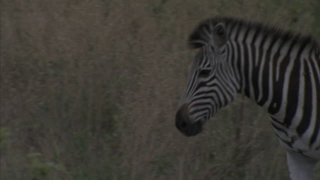plains zebra walking on the okavango delta, tall grass field around. wildlife, endangered, stripes, migrating, grazing - southern africa stock videos & royalty-free footage