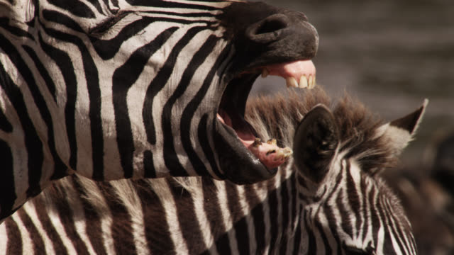 Plains zebra (Equus quagga) yawns by river crossing, Kenya
