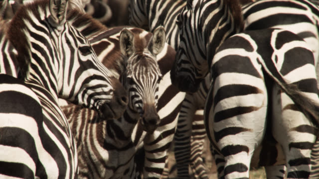 Plains zebras (Equus quagga) and foal gather at river crossing, Kenya