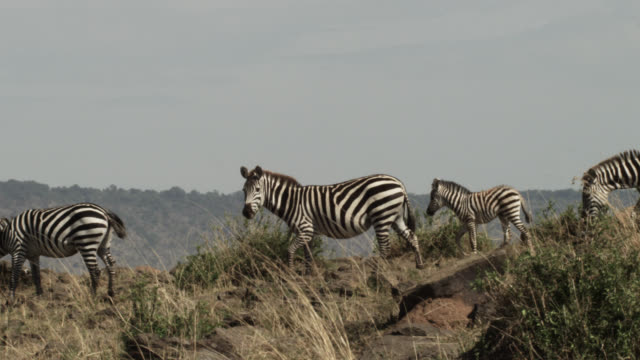 Plains zebras (Equus quagga) and foal on ridge, Kenya