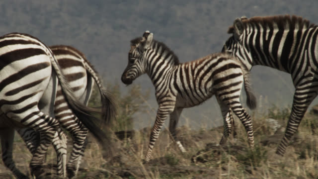 Plains zebras (Equus quagga) and foal on savannah, Kenya