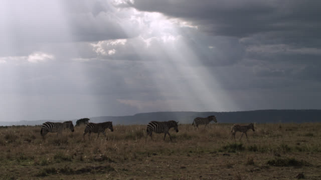 plains zebras (equus quagga) and sunbeams on savannah, kenya - herbivorous stock videos & royalty-free footage
