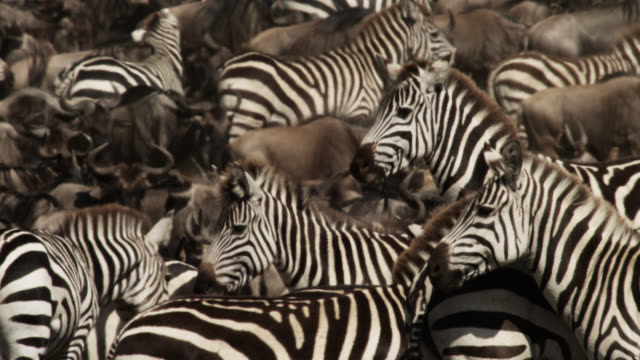 Plains zebras (Equus quagga) and wildebeest gather at river crossing, Kenya