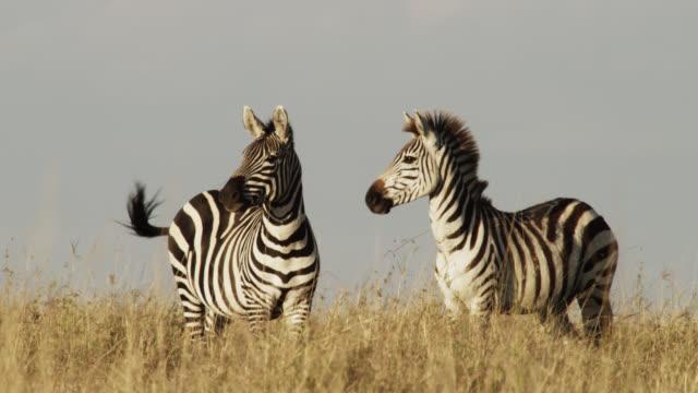 plains zebras (equus quagga) on savannah, kenya - zebra stock-videos und b-roll-filmmaterial