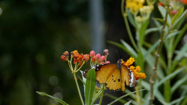 plaintiger butterfly - butterfly garden stock videos & royalty-free footage