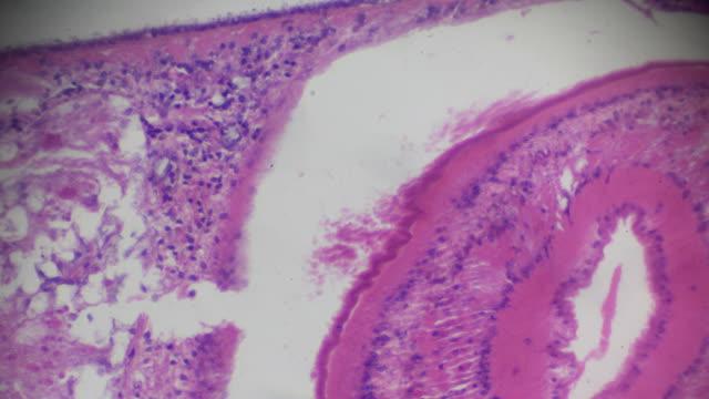 vídeos y material grabado en eventos de stock de planaria sección bajo microscopia ligera - planariidae