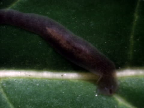 stockvideo's en b-roll-footage met a planaria on a leaf - artbeats