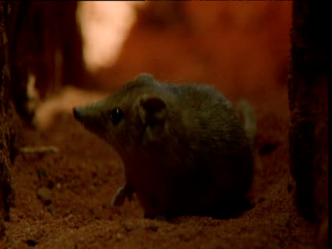 vídeos de stock, filmes e b-roll de planigale sits in burrow in outback, new south wales, australia - marsupial