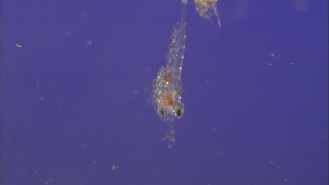 plankton drift and swim in bright blue water. available in hd. - magnification stock videos & royalty-free footage