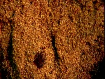 plankton drift past clusters of garibaldi fish eggs. - damselfish stock videos & royalty-free footage