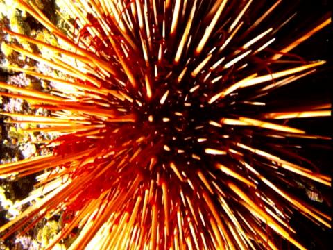 plankton drifts past an orange sea urchin. - sea urchin stock videos & royalty-free footage
