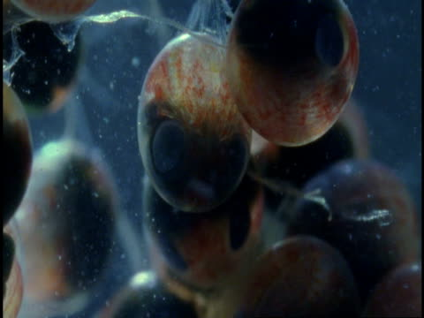 Plankton drifts past lobster eggs.