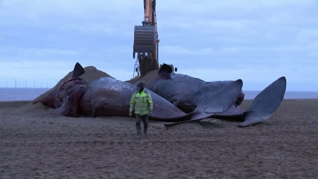 plans for the removal of the sperm whales from the east coast beaches england lincolnshire skegness ext digger burying dead sperm whales with sand... - クジラ目点の映像素材/bロール