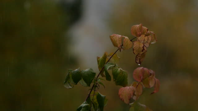 plant and rain in slow motion - altai nature reserve - pinaceae stock videos & royalty-free footage