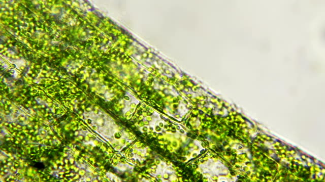 plant cells with chloroplasts moving, microscopic view - magnification stock videos & royalty-free footage