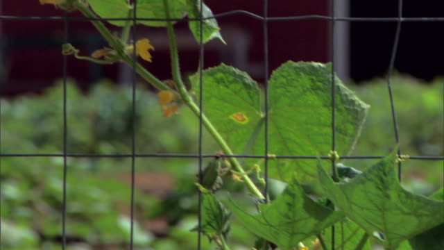 plant growing on garden fence - see other clips from this shoot 1425 stock videos and b-roll footage