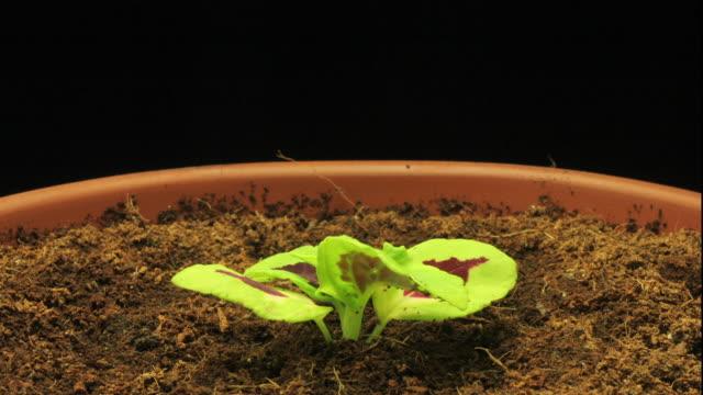 a plant grows in rich soil. - kochgeschirr stock-videos und b-roll-filmmaterial