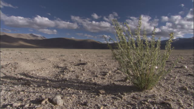 plant grows on arid plateau, ladakh, india - plateau stock videos and b-roll footage
