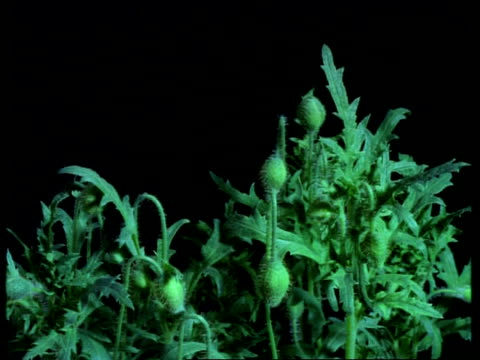 t/l plant - mcu mass of poppy plants growing, flower buds rise and open, black background - poppy plant stock videos and b-roll footage