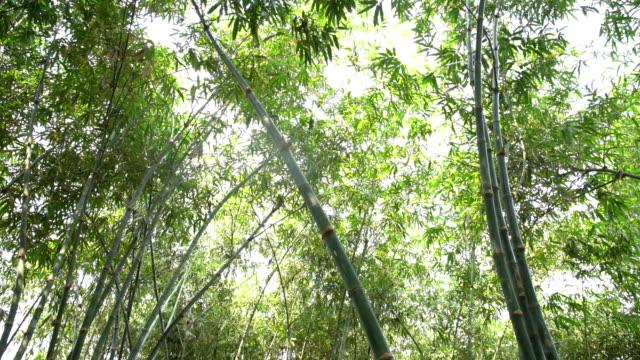 vidéos et rushes de plante d'arbre de bambou dans la forêt tropicale humide en thaïlande - bamboo plant