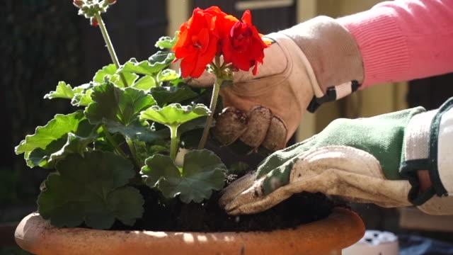 plant potting. - ゼラニウム点の映像素材/bロール