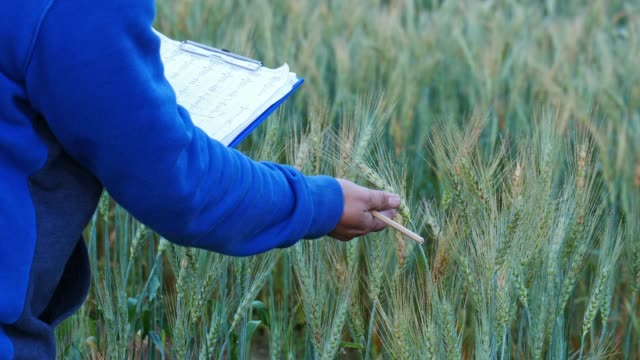 plant researchers examined wheat varieties in the demonstration plot. - genetic modification stock videos & royalty-free footage