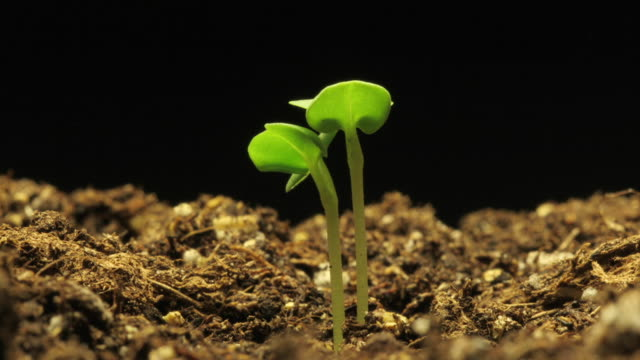 a plant sprouts from rich soil. - seedling stock videos & royalty-free footage