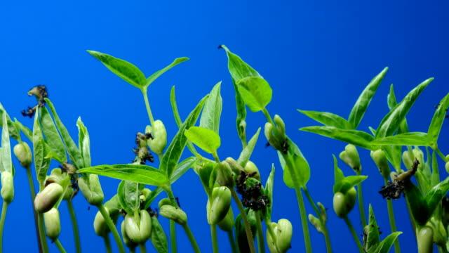 vídeos y material grabado en eventos de stock de planta madre tiempo lapso azul fondo de pantalla dci 4k - grano planta
