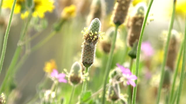 plantago ovata in bloom macro shot - prairie stock videos & royalty-free footage
